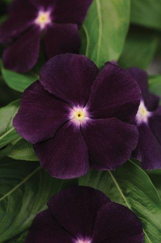 Deep velvety purple Jams 'N Jellies Blackberry vinca