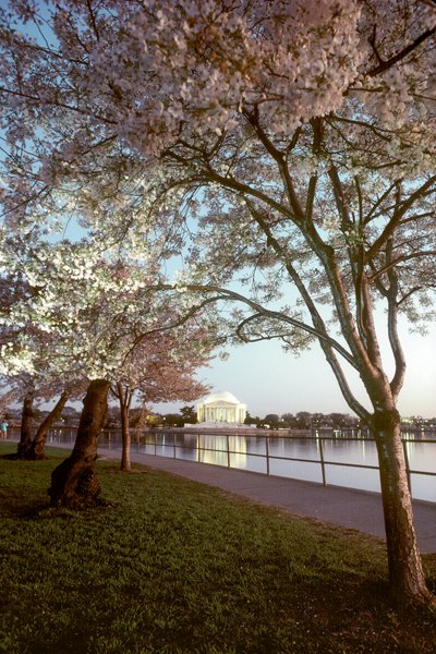 Cherry blossoms bloom by the Jefferson Memorial