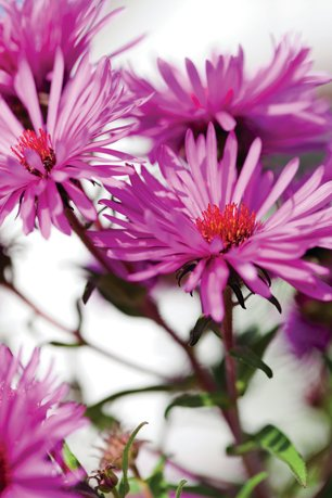 New England Aster is a native sun-loving perennial.