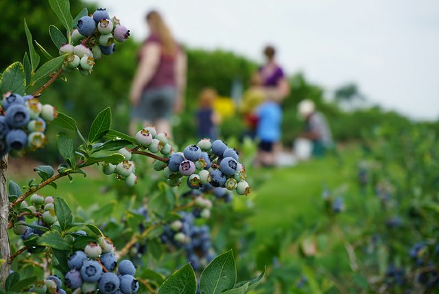 PYOBlueberries.JPG