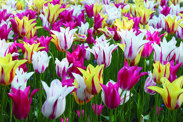 Tulip-Hybrida-Dance-Fever-Collection-from-Jung-Seed-Year-of-the-Tulip-National-Garden-Bureau.jpg