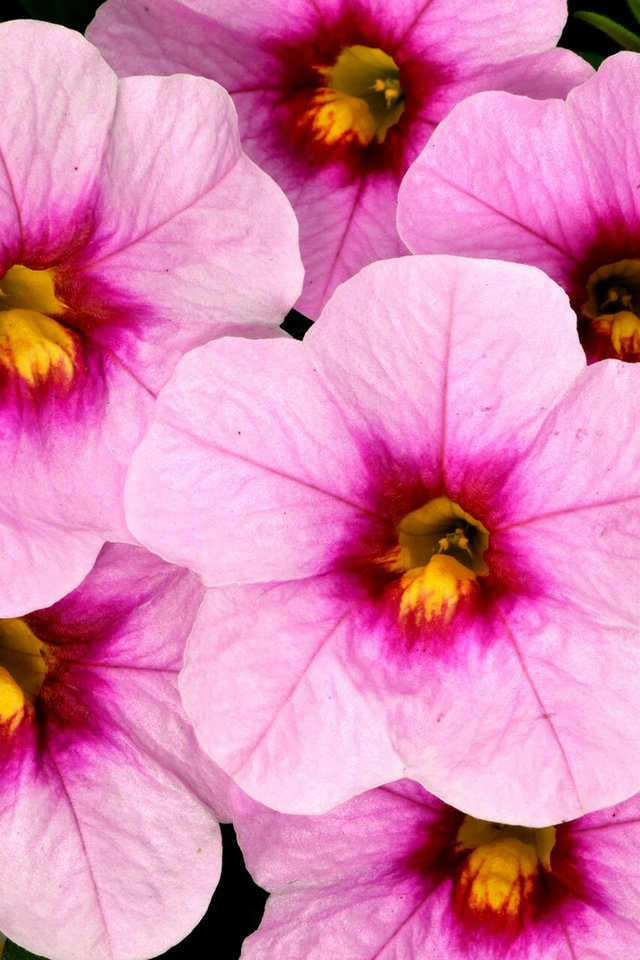 Calibrachoa_CelebrationPinkDoll_DummenOrange.jpg