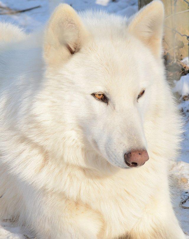 Wolf Sanctuary of PA, Mika - Credit Wolf Sanctuary of PA.jpg