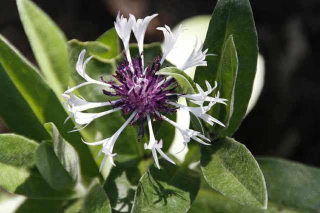 bee balm maybe.jpg