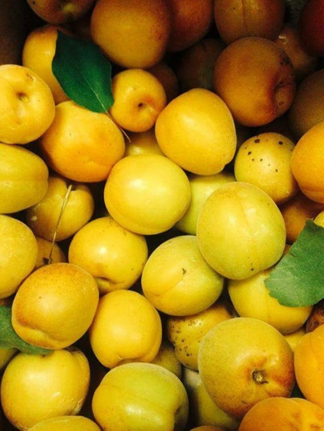 Flinchbaugh's Orchard (apricots).jpeg