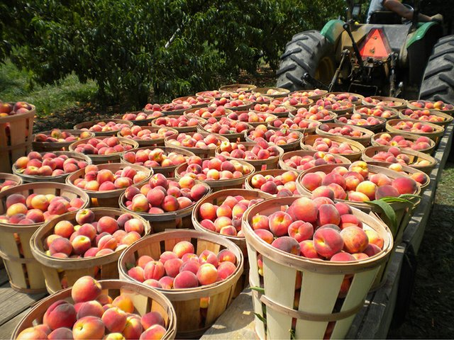 Strite's Orchard (peaches) 2.JPG