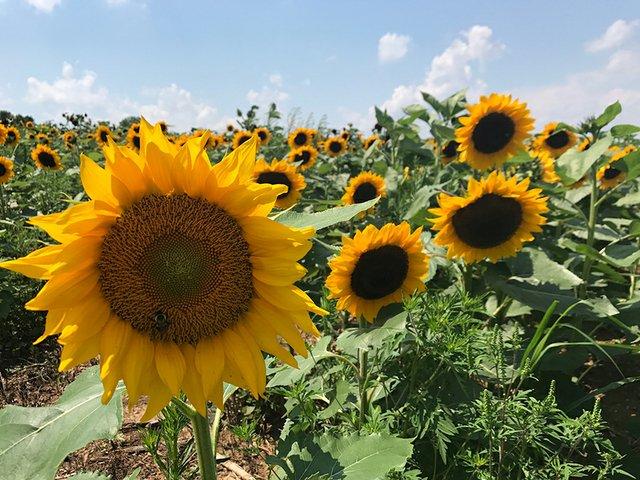 SunflowersInTheField.jpg