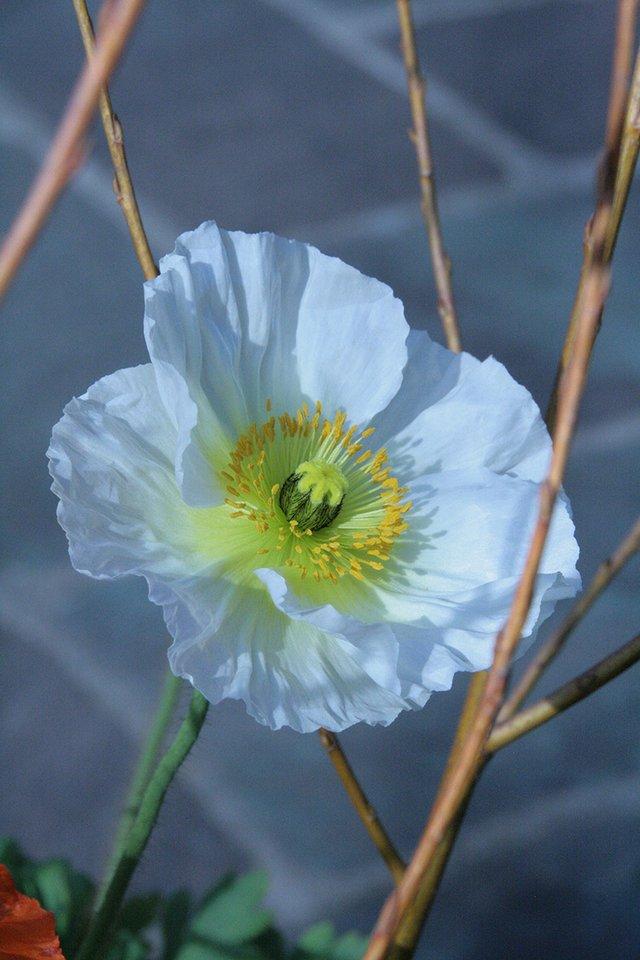 poppy white.JPG