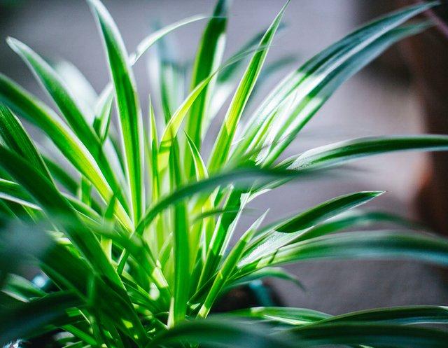 spiderplant.jpg