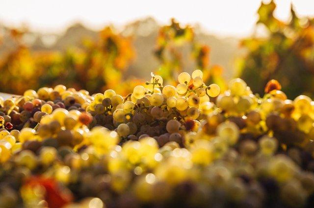 grapes.jpg .jpg