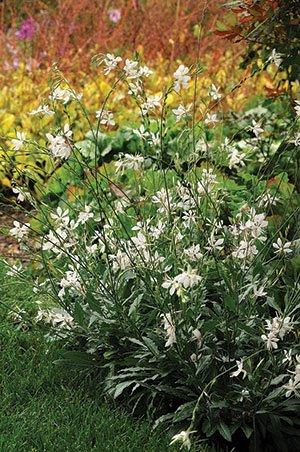 Gaura_SparkleWhite-garden-Reduced.jpg.jpe