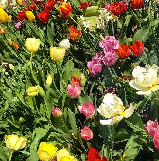 tulips.jpg.jpe