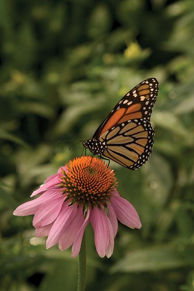 monarch-on-purple-coneflower-2005.jpg.jpe
