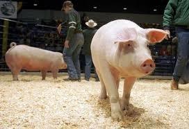 farm-show-pig.jpg.jpe