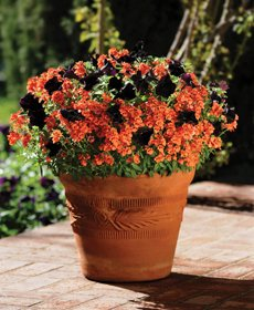 MIX10-10238Black Velvet Petunia, Romeo Orange Diascia.jpg.jpe