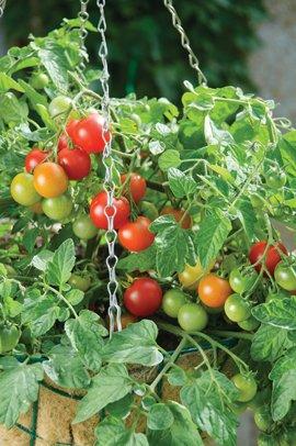 Tomato_Terenzo-web.jpg.jpe