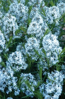 amsonia flower.jpg.jpe